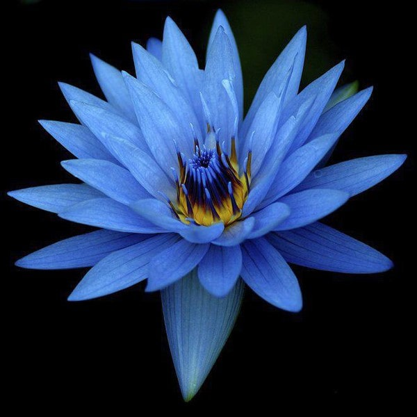 Lotus bleu blue lotus