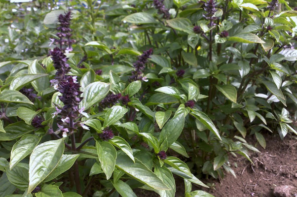 basilic exotique, exotic basil
