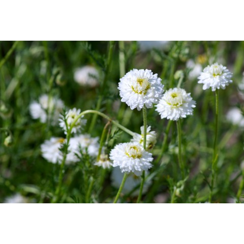 camomille noble, chamomile noble