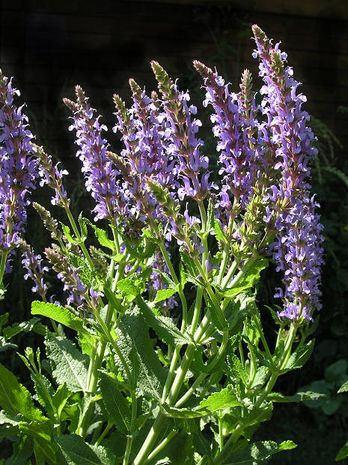 Sauge officinale, sage