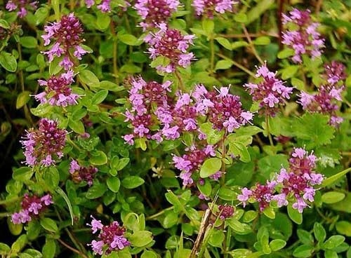 Thym rouge, red thyme