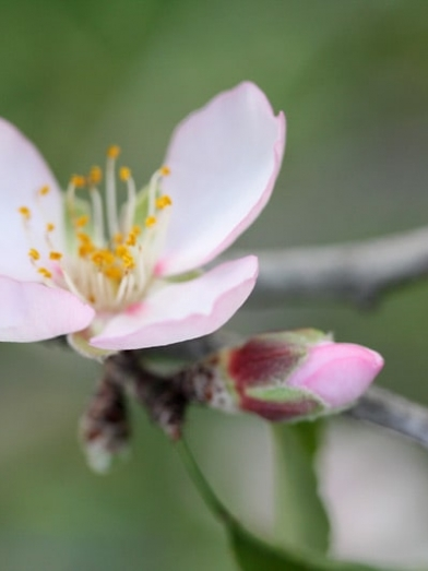 Amande douce, sweet almond