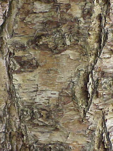 bouleau noir, black birch